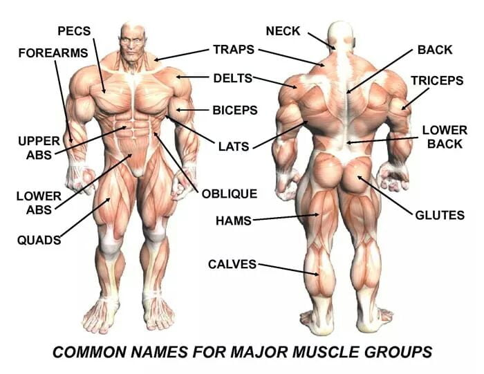 DUMBBELL LEG WORKOUT: ANATOMY OF LEG MUSCLES FOR BODYBUILDING.
