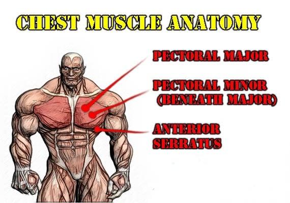 chest-mucsle-anatomy
