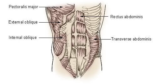 Muscles of the Trunk